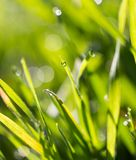 Drops of dew on the grass. In the park in nature Stock Images