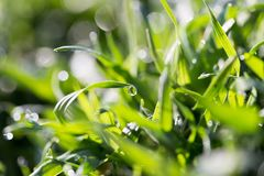 Drops of dew on the grass. In the park in nature Stock Image