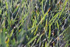 Drops of dew on the grass. With the glow of the Sun Royalty Free Stock Image