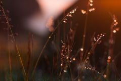 Dew on the grass glows at sunset. Drops of dew on the grass glows at sunset Royalty Free Stock Photos