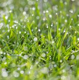 Drops of dew on the grass Royalty Free Stock Image