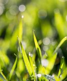 Drops of dew on the grass. In the park in nature Stock Photography