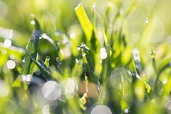 Drops of dew on the grass. In the park in nature Royalty Free Stock Photo
