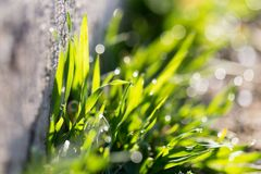 Drops of dew on the grass. In the park in nature Royalty Free Stock Photography