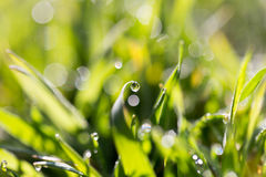 Drops of dew on the grass Royalty Free Stock Images