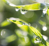 Drops of dew on the grass. A photo Stock Photography