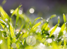Drops of dew on the grass. A photo Royalty Free Stock Photo