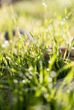 Drops of dew on the grass. A photo Royalty Free Stock Image