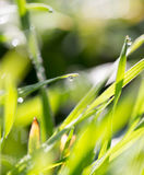 Drops of dew on the grass. A photo Stock Image