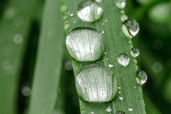 Drops of dew on the grass. Photographed in the wild Stock Images