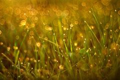 Drops of dew on the grass of summer sunset rays Royalty Free Stock Photography