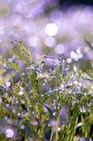 Drops of dew on the grass. sun glare from dew. Violet and green royalty free stock image