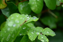 Drops of dew. Dew drops on green foliage Royalty Free Stock Photo