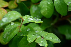 Drops of dew. Dew drops on green foliage Stock Image