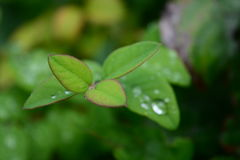 Drops of dew. Dew drops on green foliage Stock Images