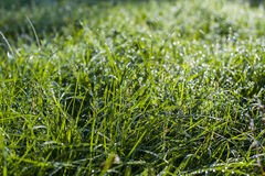 Drops of dew on a green grass Royalty Free Stock Photography