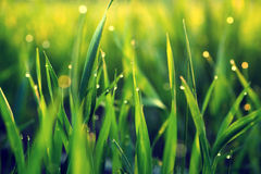 Drops of dew on a green grass Stock Photos