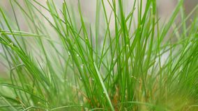 Drops of dew on a green grass stock video