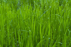 Drops of dew on a green grass. Background Stock Photos