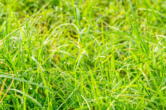 Drops of dew on a green grass Royalty Free Stock Image