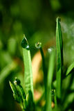 Drops of dew on the green grass Royalty Free Stock Photo