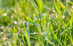 Drops of dew on green grass. Drops of dew on green sunny grass Stock Image