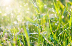 Drops of dew on green grass with sunny bokeh Stock Photography