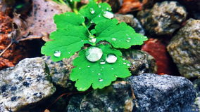 Drops of dew on the green leaves of celandine Royalty Free Stock Photo