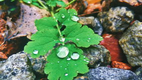 Drops of dew on the green leaves of celandine Stock Image