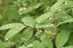 Drops of dew on a green plant in the garden. Royalty Free Stock Photography