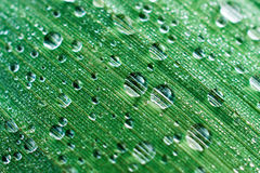 Drops of dew on a leaf marsh reeds. Stock Photo