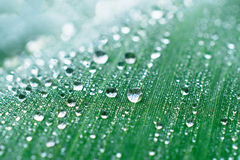 Drops of dew on a leaf marsh reeds. Stock Images