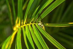 The drops of dew on the palm leaf. Royalty Free Stock Photography