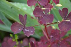Drops of dew on the red leaves of plants stock images