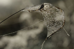 Drops of dew on a spider web Royalty Free Stock Photo