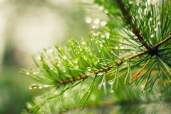 Drops of dew on Spruce branches stock photo