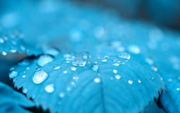 Drops of dew on a turquoise leaf Royalty Free Stock Image