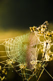 Drops of dew on a web shined by morning light Royalty Free Stock Images