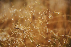 Drops on dry grass. Drops of rain on dry grass stock images