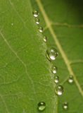 Drops on edge. Tiny drops cling to the edge of a leaf after the rain. Surface tension shapes each drop into an almost perfect sphere Stock Photography