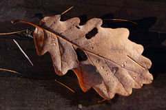 Drops on a fallen oak leaf Stock Photos