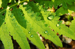 Drops on Fern. Water drops on a green fern Royalty Free Stock Image