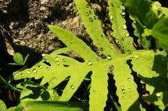 Drops on a Fern. Water drops on a green fern Stock Image