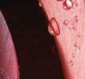 Drops first. Closeup shot with petals and raindrops Royalty Free Stock Photos