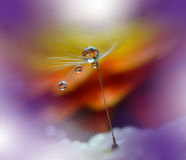 Drops on floral background closeup.Tranquil abstract closeup art photography.Print for Wallpaper...Floral fantasy design... Abstract macro photo with dandelion Royalty Free Stock Photo