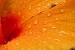 Drops On A Flower Royalty Free Stock Photo