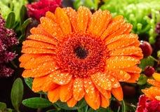 Drops, Flowers, Plants, Daisy, Macro Photography Stock Image