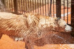 Drops flying from wet dog fur. Washing brown big dog view from side Royalty Free Stock Photo
