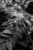 Drops on foliage. Drops of water on leaves of acacia in summer Stock Photo