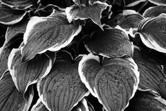 Drops on foliage. Drops of water on leaves of hosta in summer Royalty Free Stock Photo